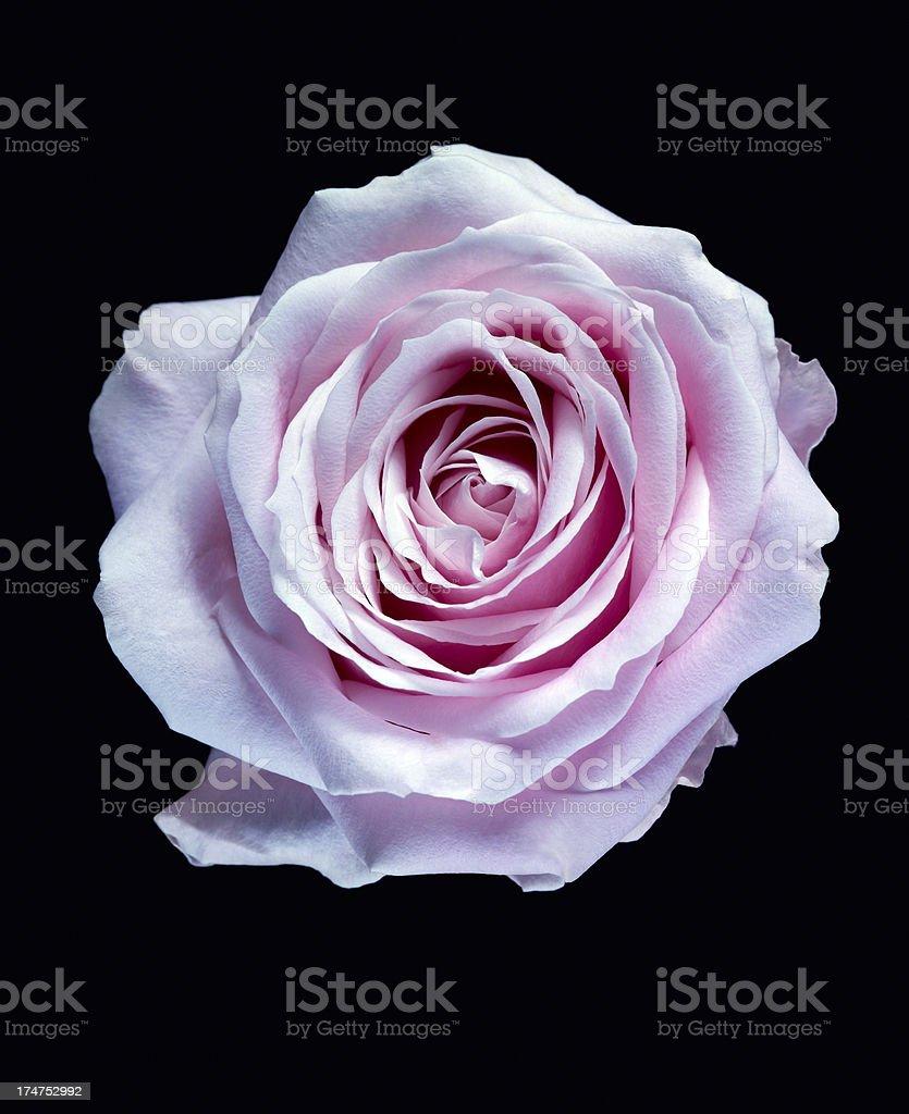 Rose XXL stock photo