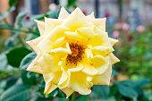 Rose yellow blooming