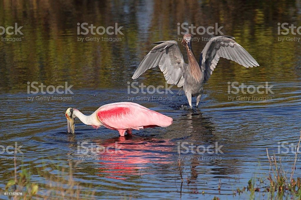 Roseate Spoonbill and Reddish Egret stock photo