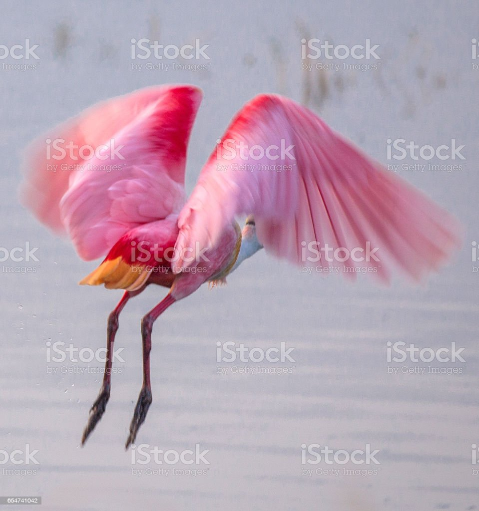 Roseate Spoonbill Buttshot stock photo
