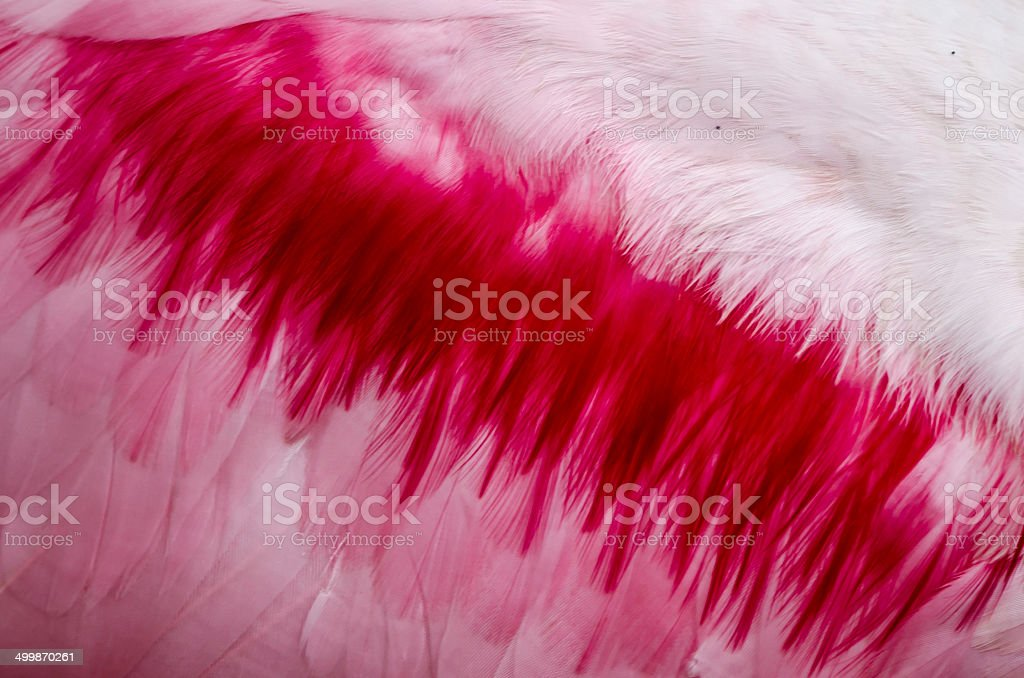 Roseate Spoonbill Feather royalty-free stock photo
