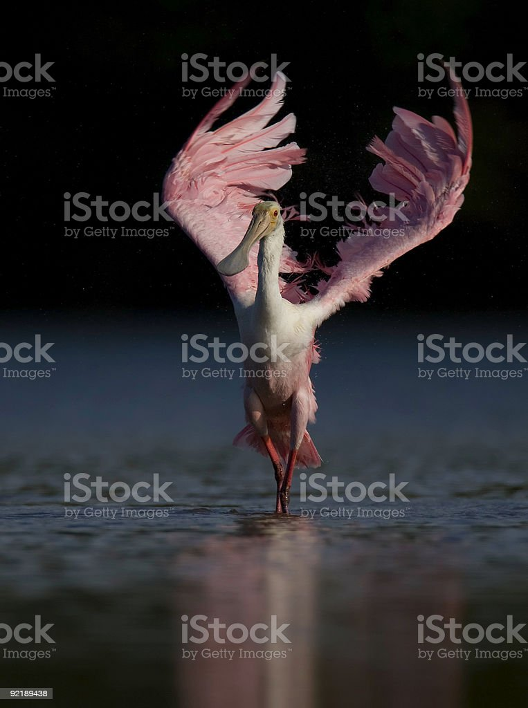 Roseate Spoonbill flaring it's wings stock photo