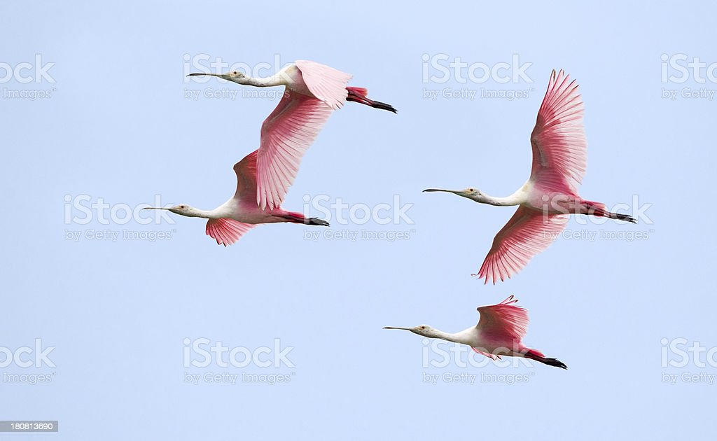 Roseate Spoonbill Flock Flying stock photo