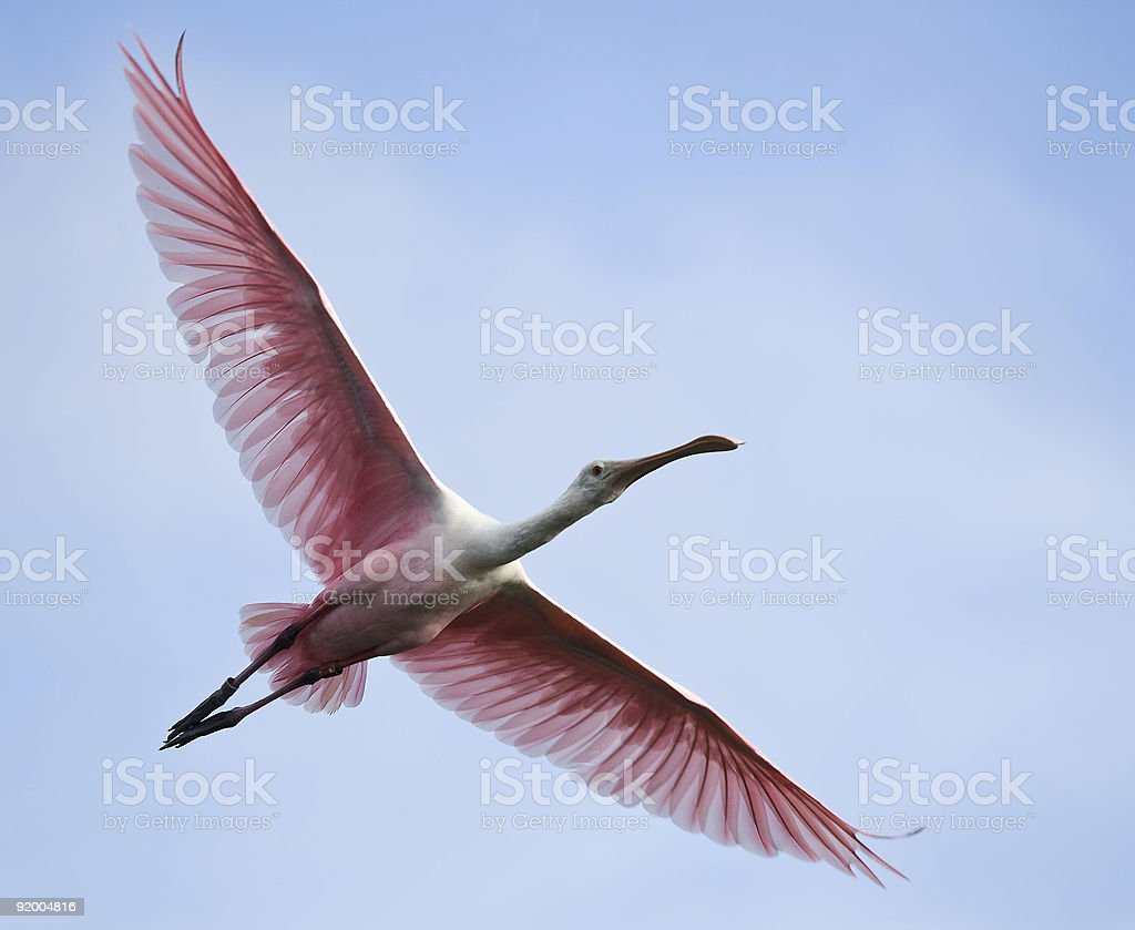 Roseate Spoonbill flying against a blue sky. stock photo