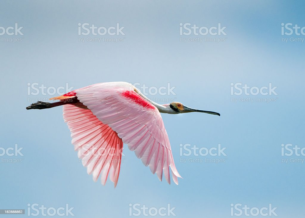 Roseate Spoonbill in Flight, displaying the feather markings stock photo