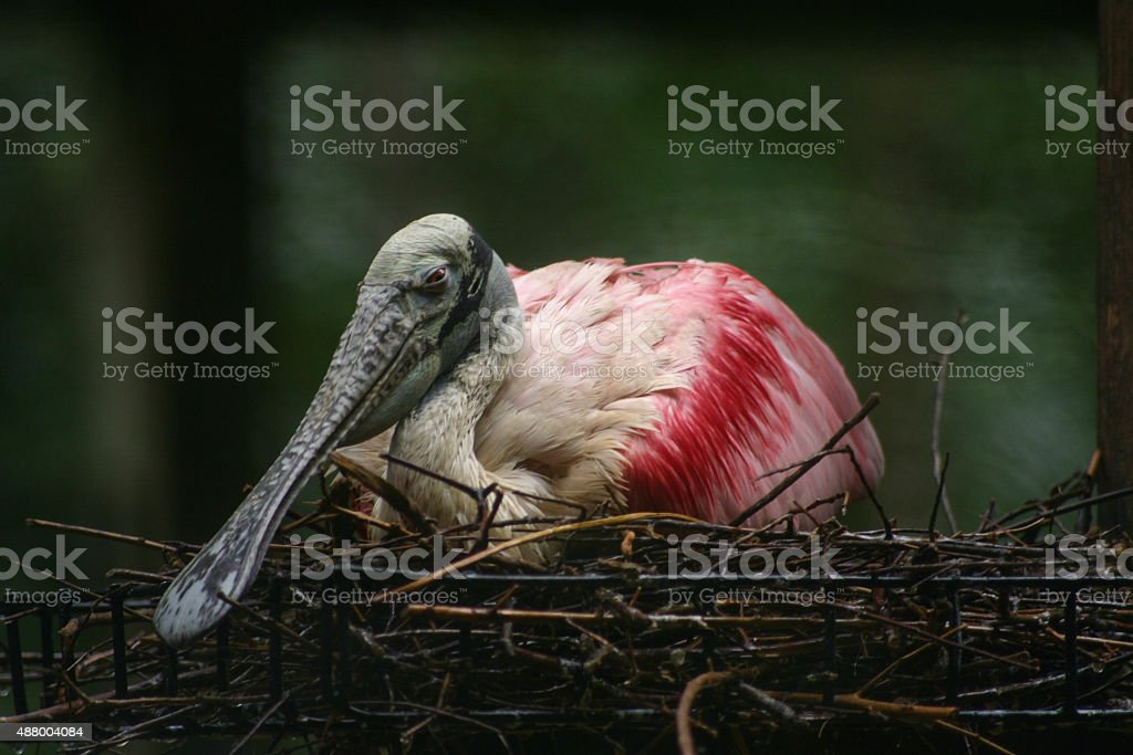 Spatule rosée dans nid photo libre de droits