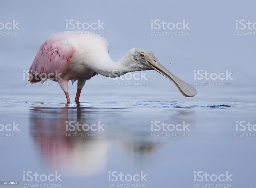 Roseate Spoonbill looking for food stock photo