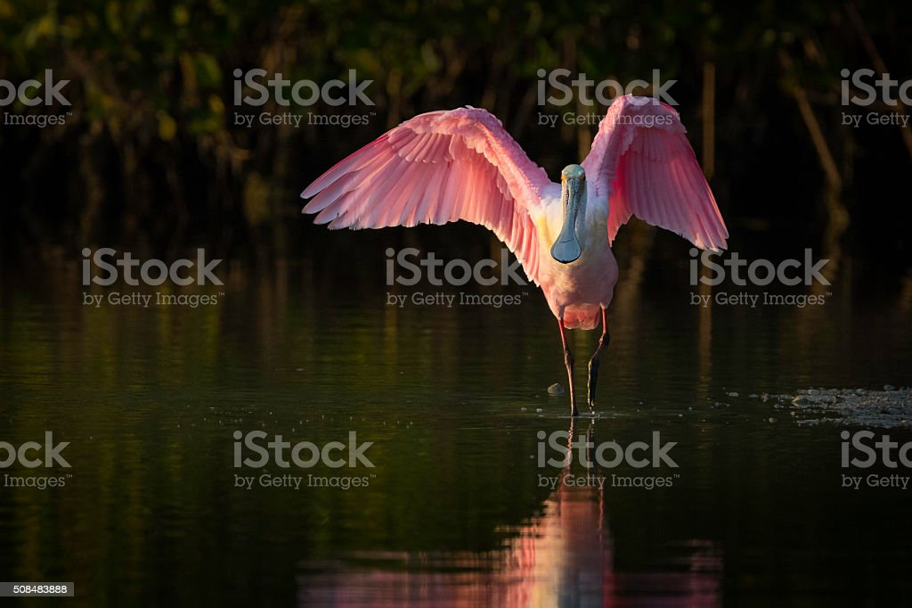 Roseate Spoonbill on Display stock photo