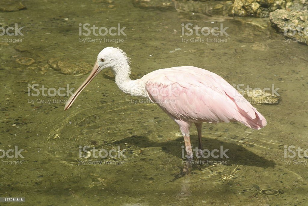 Roseate Spoonbill royalty-free stock photo