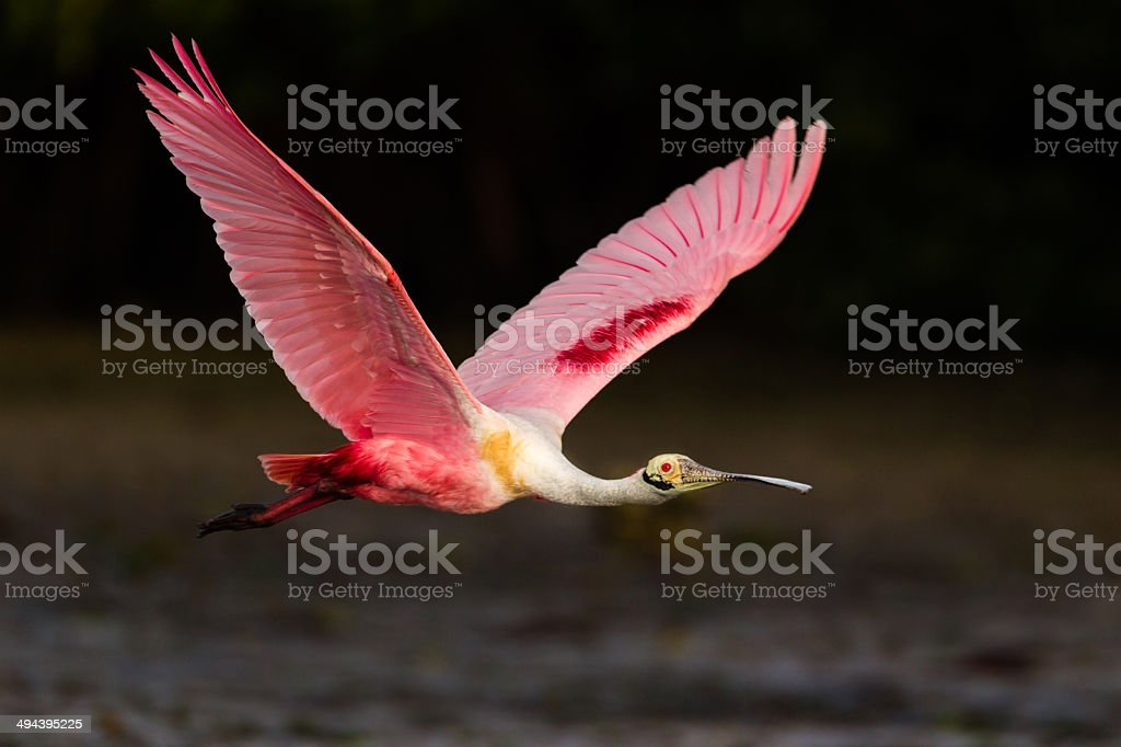Roseate Spoonbill stock photo