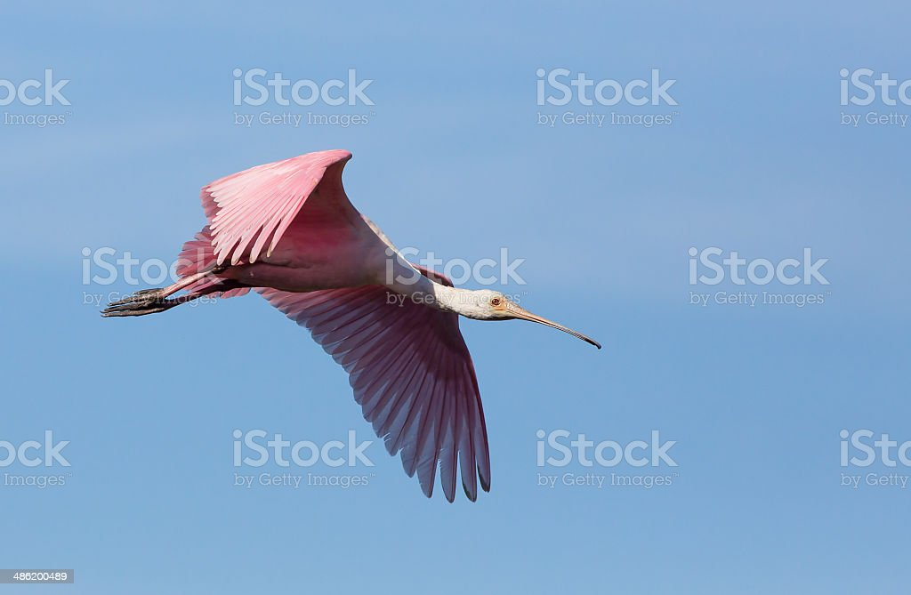 Roseate Spoonbill Soars stock photo