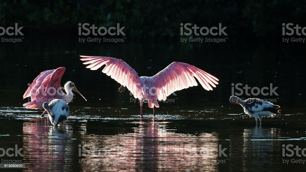 Roseate Spoonbills and juvenile white ibis (Eudocimus albus) in stock photo