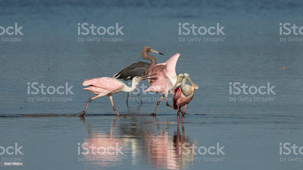 Roseate Spoonbills and Reddish Egret, J.N. ''Ding'' Darling Nati stock photo
