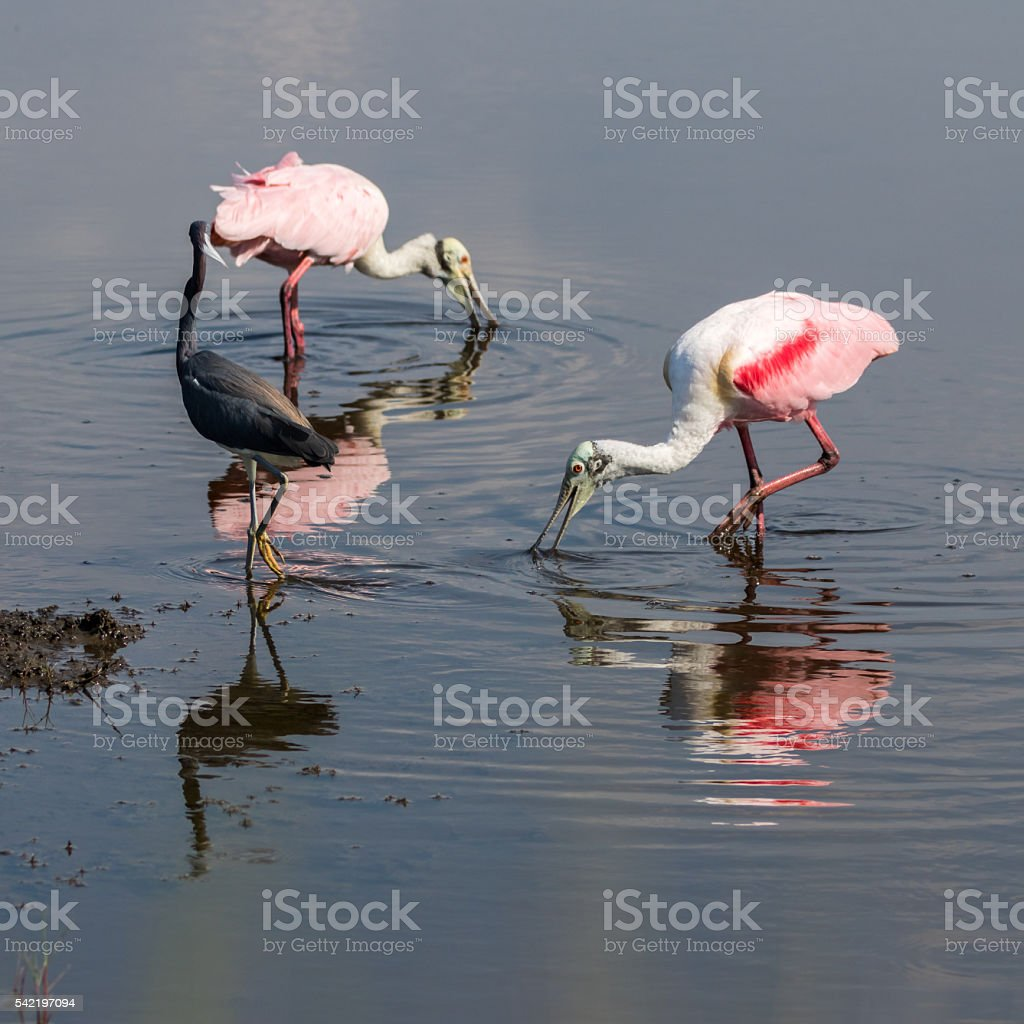 Roseate Spoonbills Foraging, Tricolored Heron, Merritt Island Na stock photo