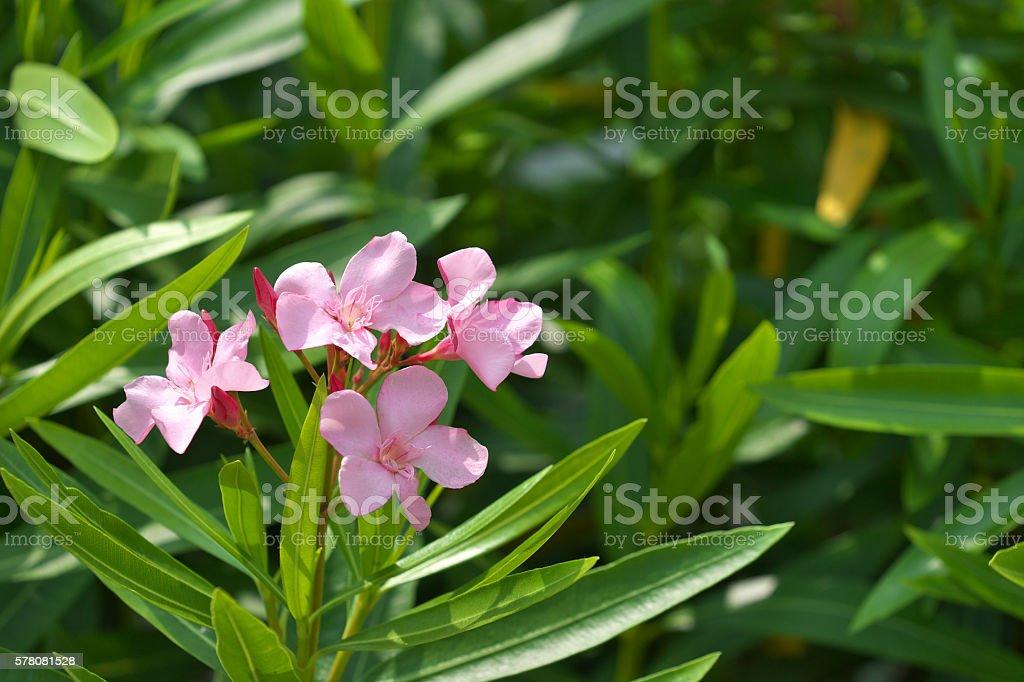 rosebay stock photo