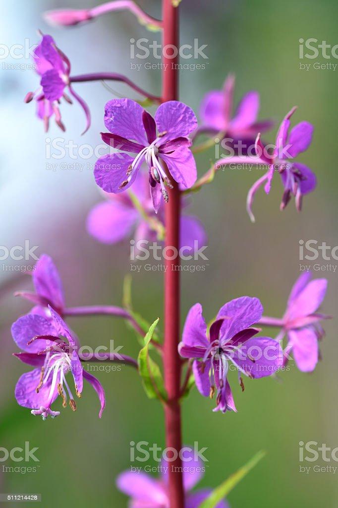 Rosebay willowherb (Chamerion angustifolium) flowers stock photo