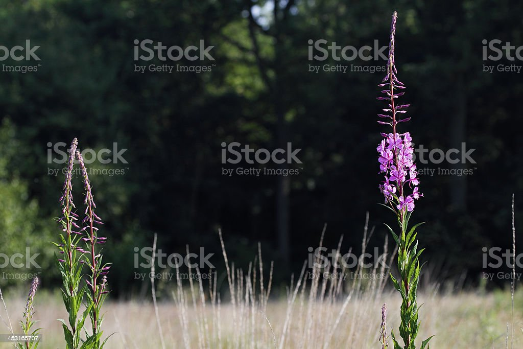 Tall stems of pink-flowering rosebay willowherb Epilobium angustifolium royalty-free stock photo