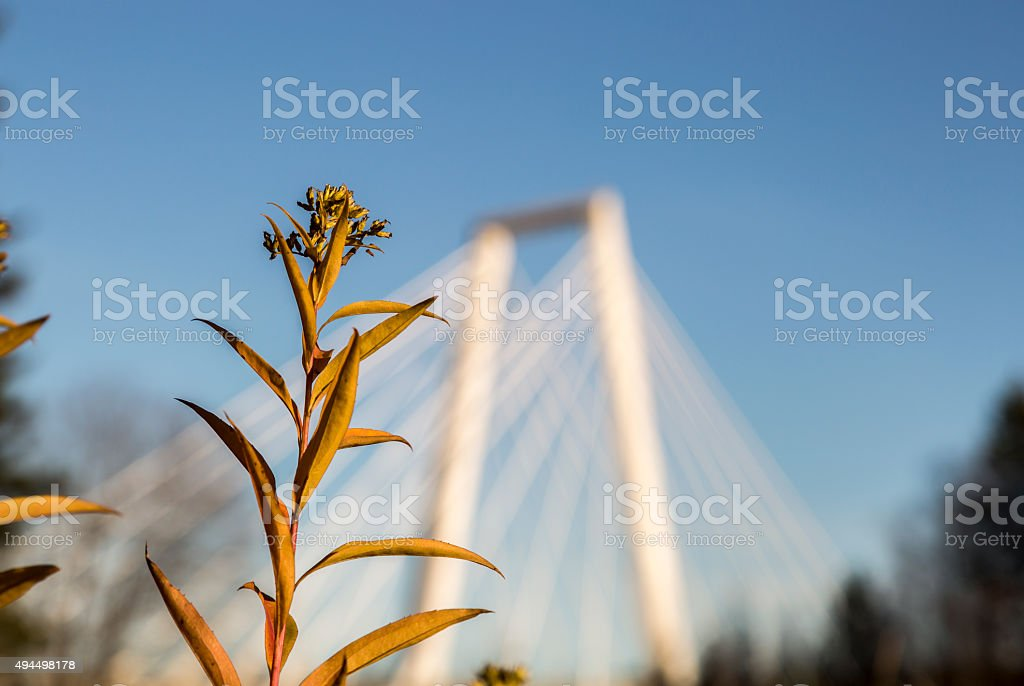 Rosebay Willowherb (Fireweed) in front of Cable Bridge stock photo