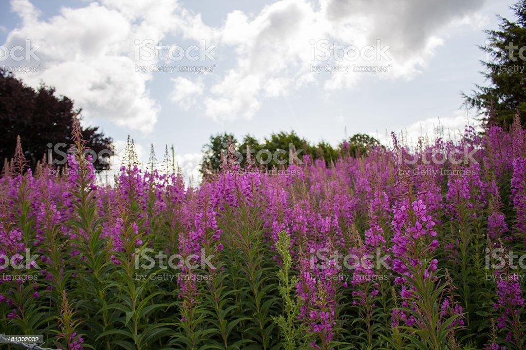 Rosebay willowherb (chamerion angustifolium) stock photo