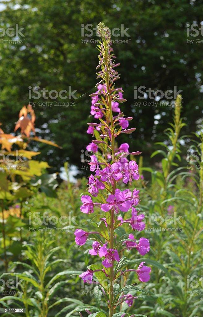 Rosebay Willowherb (Chamerion angustifolium). stock photo