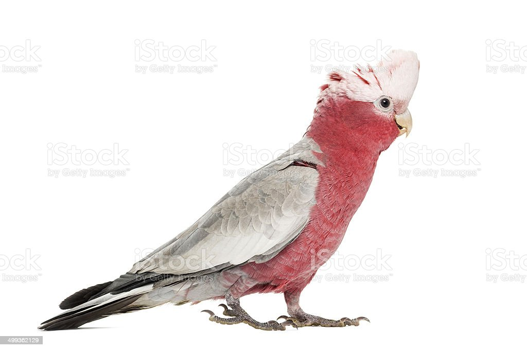 Rose-breasted Cockatoo (2 years old) isolated on white stock photo