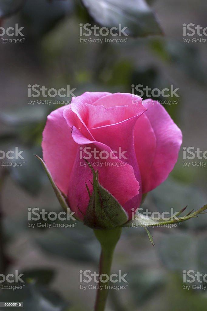 Rosebud a close up stock photo