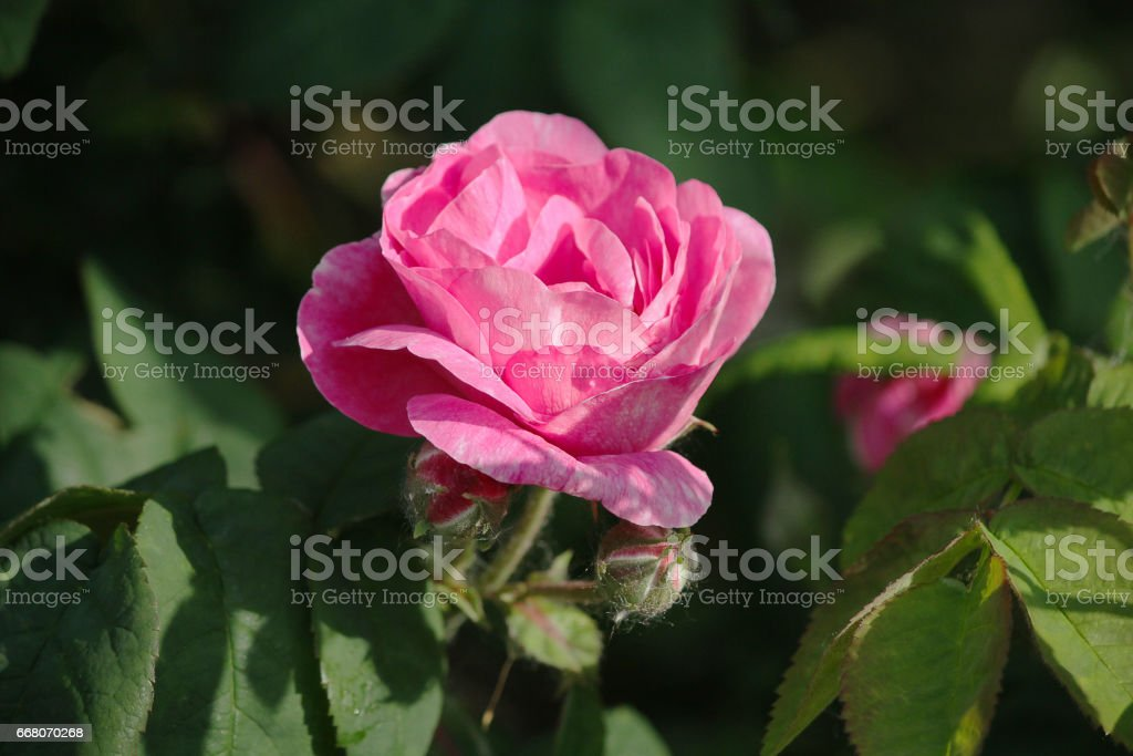 Rosebud illuminated by sunlight in the garden closeup. Flowers stock photo