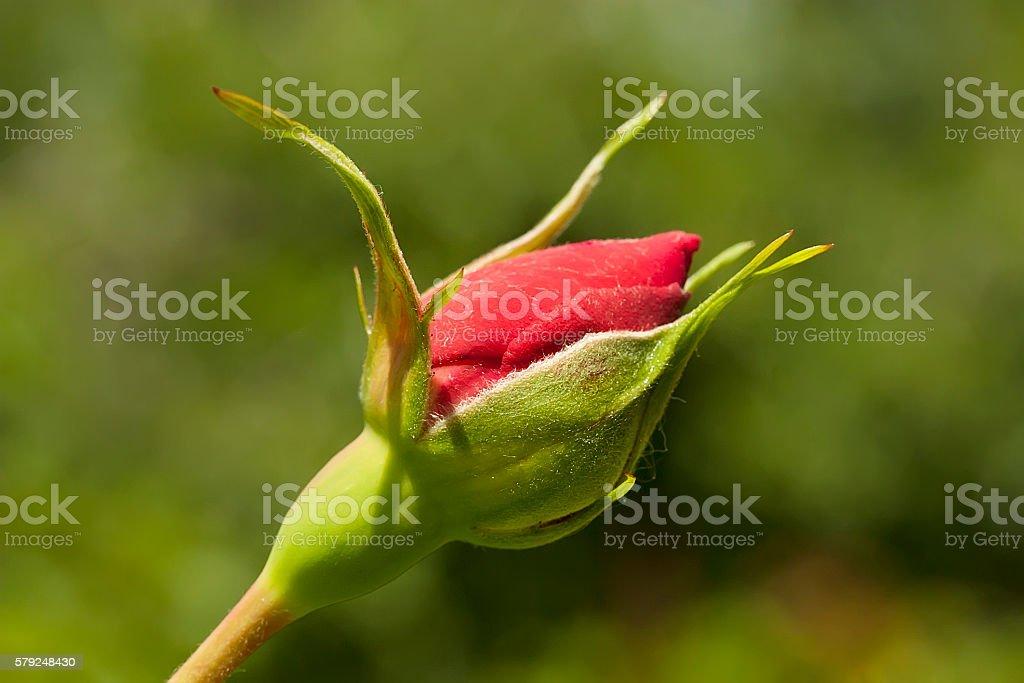 Rosebud stock photo
