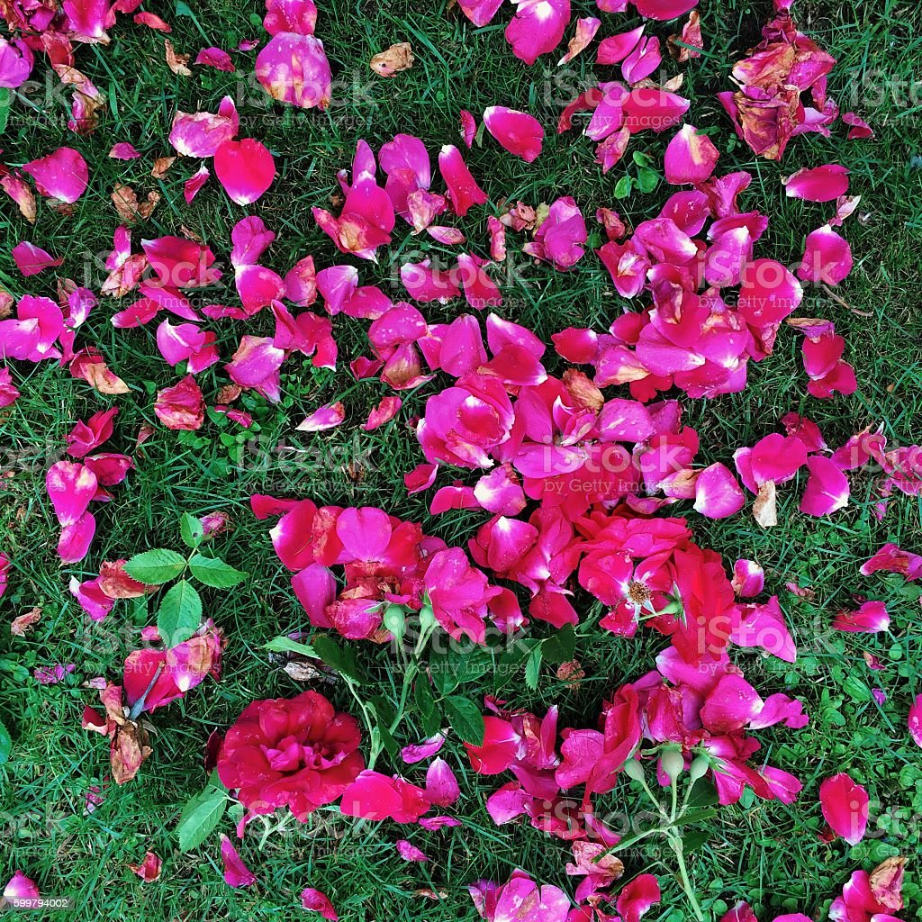 Rosebuds and rose petals fallen on the grass stock photo