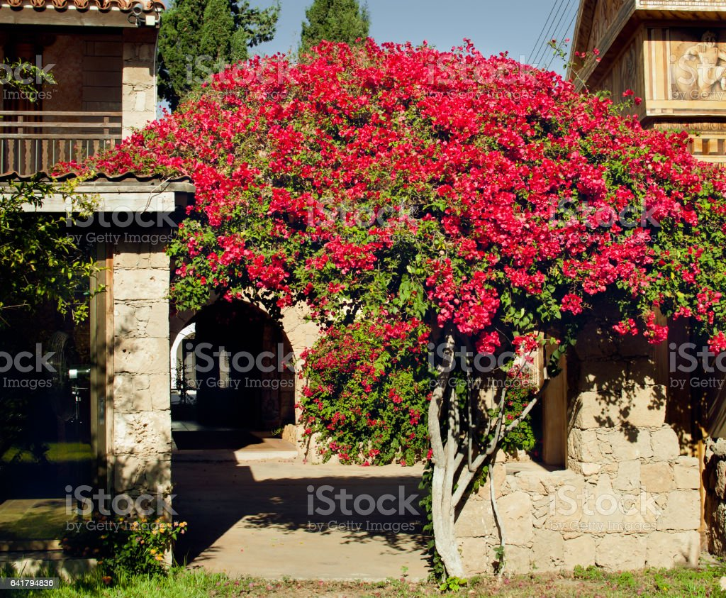 Rosebush on the background of  a stylized ancient Greek architecture stock photo