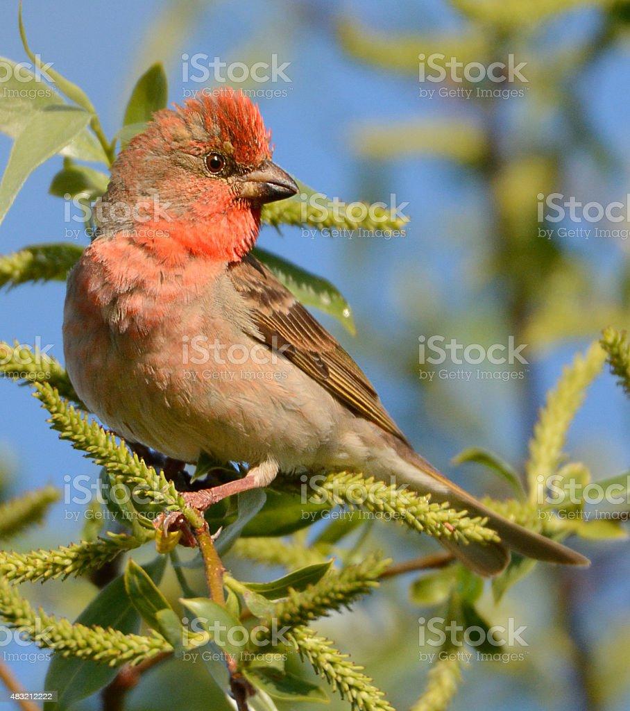 Rosefinch stock photo