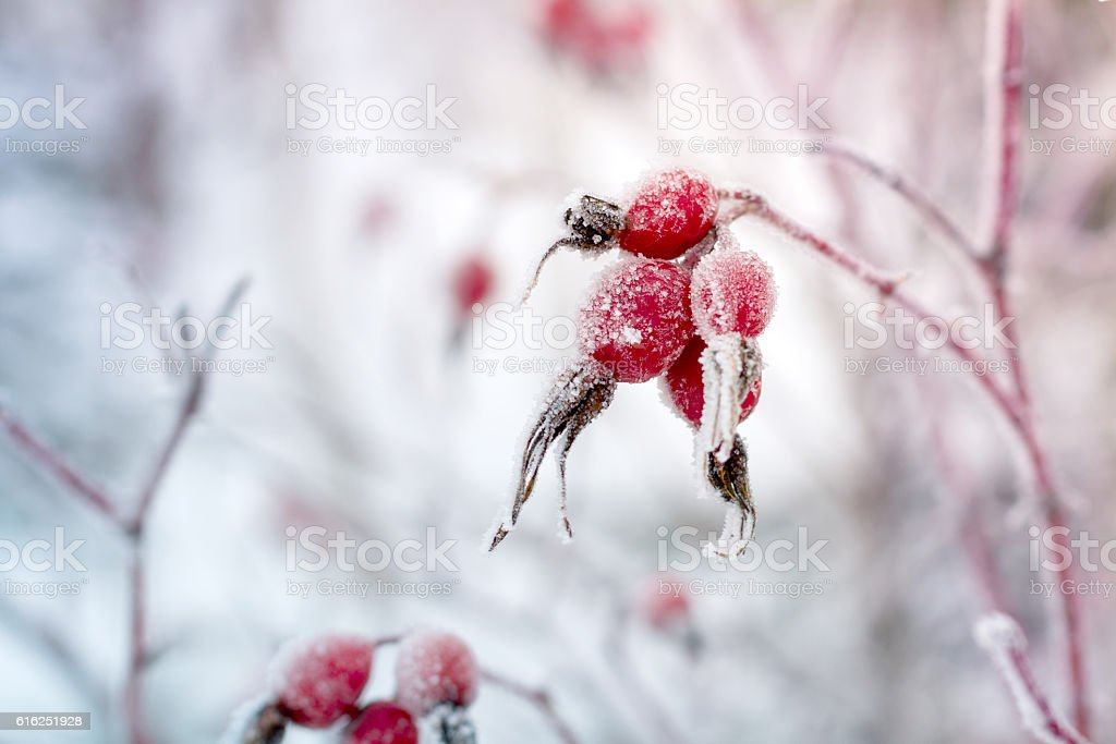 Rosehip berries covered with frost. stock photo