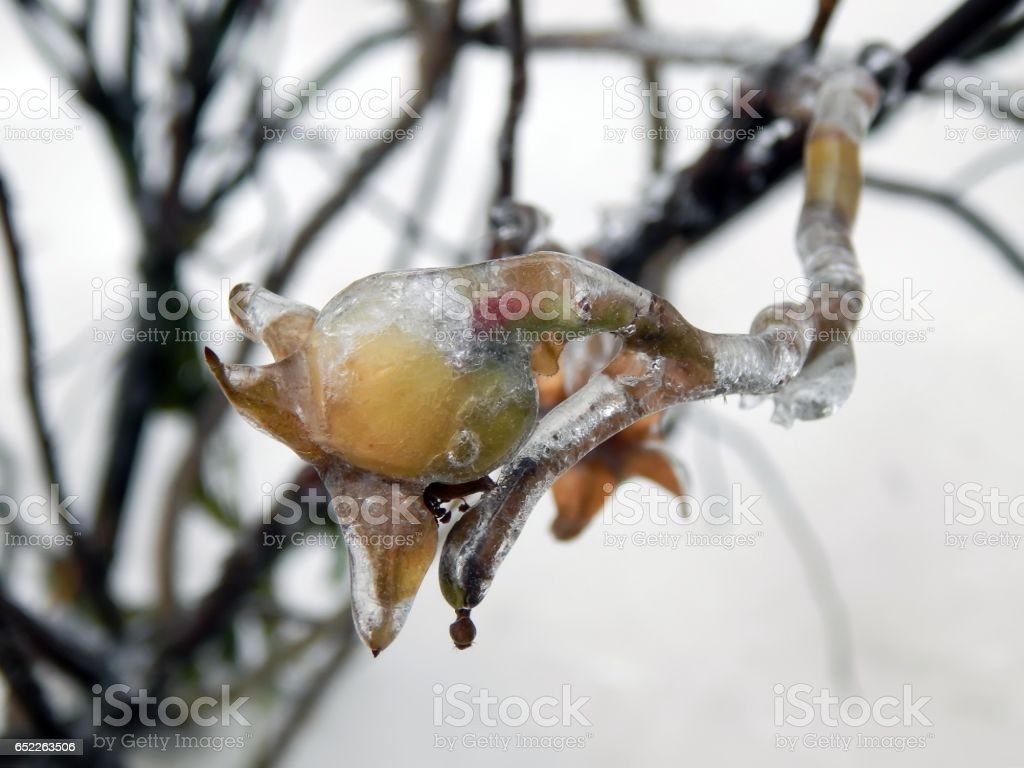 rosehip berries in ice closeup stock photo