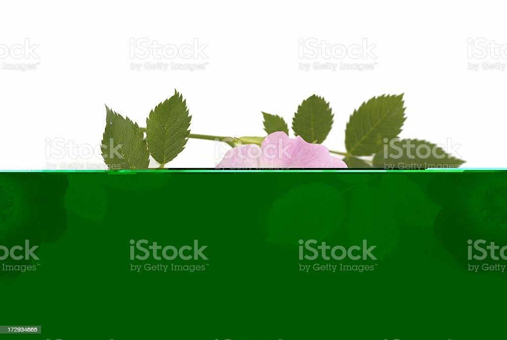 Rose-hip flower stock photo