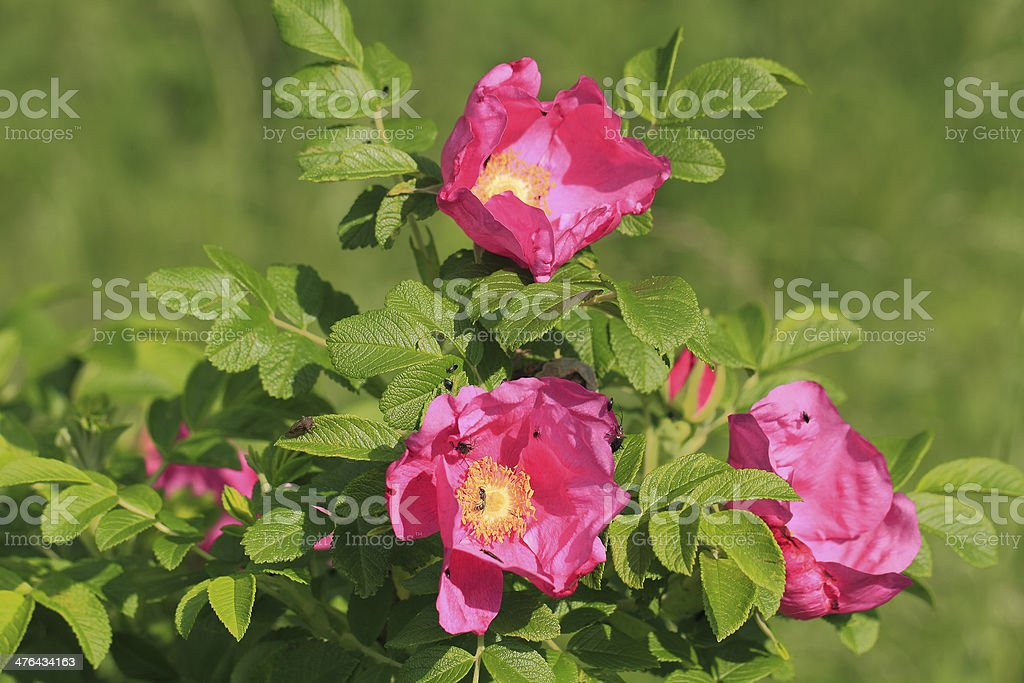 Rosehip flower royalty-free stock photo