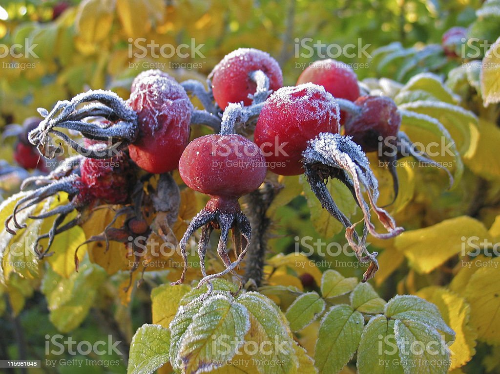 Rosehips from Rugosa Rose covered with frost in autumn royalty-free stock photo