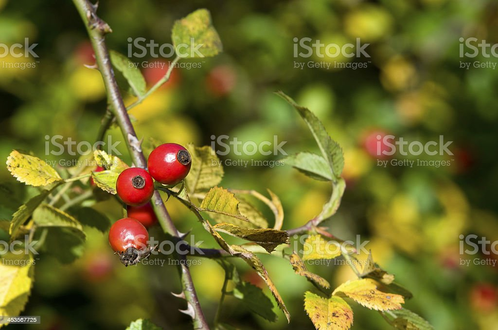 Rosehips in autumn royalty-free stock photo