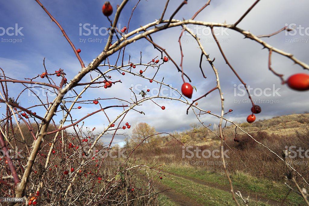 Rosehips royalty-free stock photo