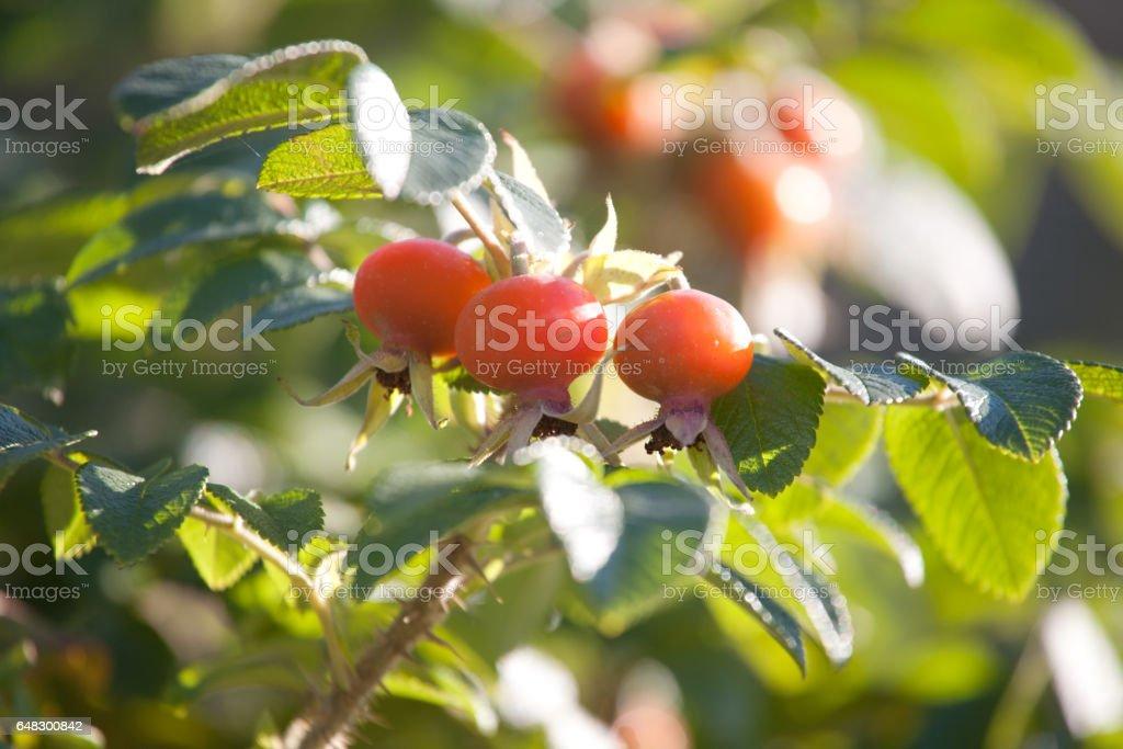 rosehips stock photo
