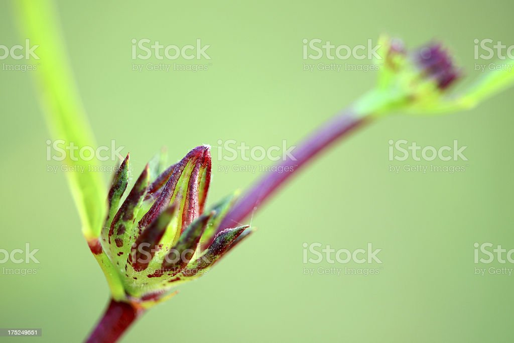 Roselle fruit and leaf on tree close-up royalty-free stock photo