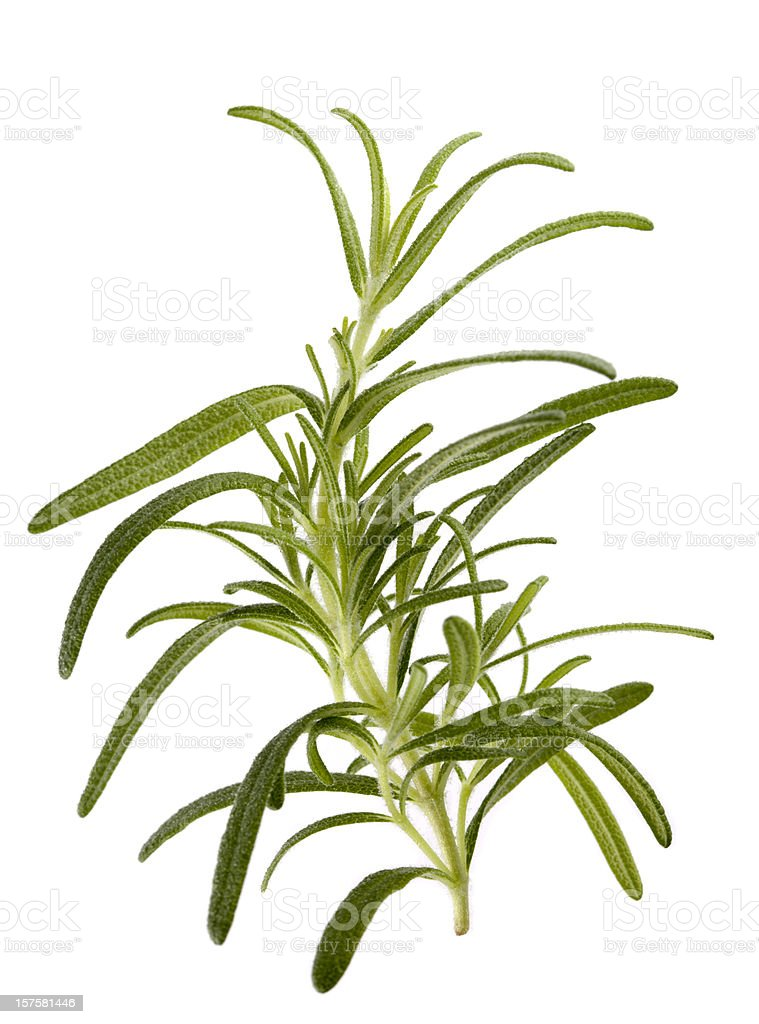 "Rosemary ""Barbeque"" (Rosmarinus officinalis) royalty-free stock photo"