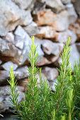 rosemary - aromatic herbs