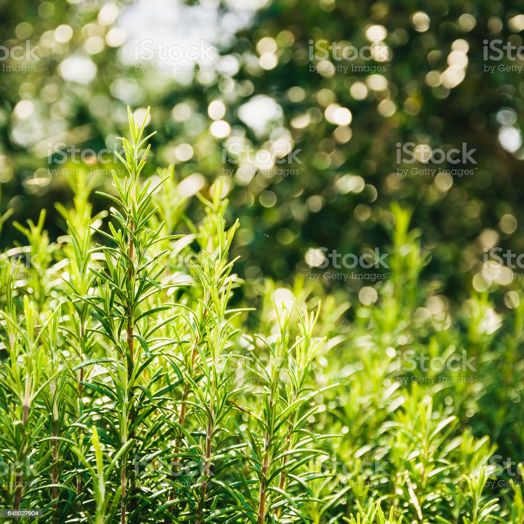 Rosemary bushes with bokeh stock photo