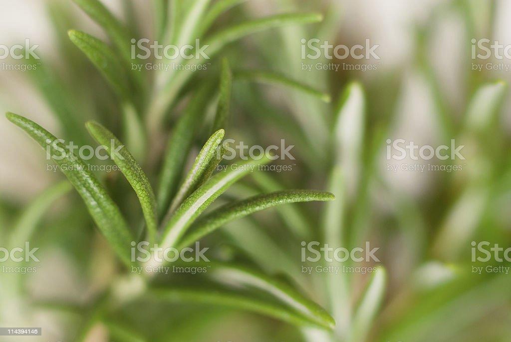 Rosemary Close-Up royalty-free stock photo