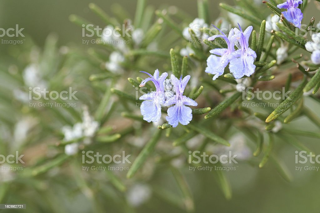 Rosemary Flowers royalty-free stock photo