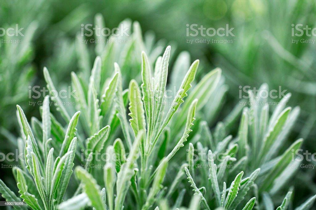 Rosemary, Herb, Herb Garden, Herbal Medicine, Plant stock photo