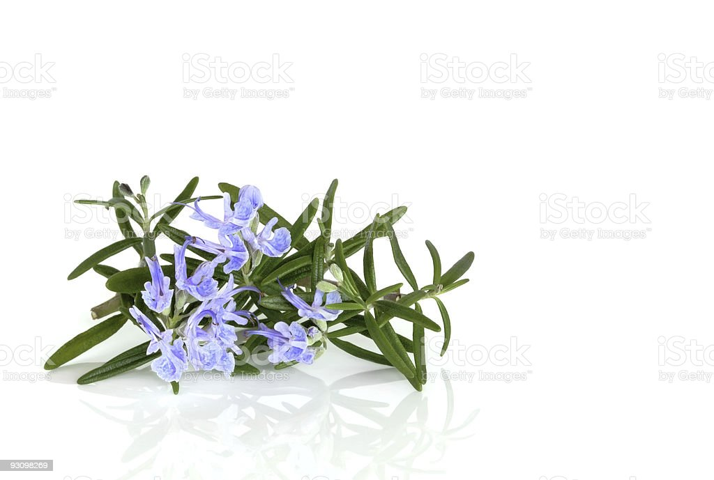 Rosemary Herb in Flower royalty-free stock photo