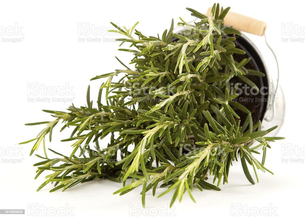 Rosemary herb royalty-free stock photo