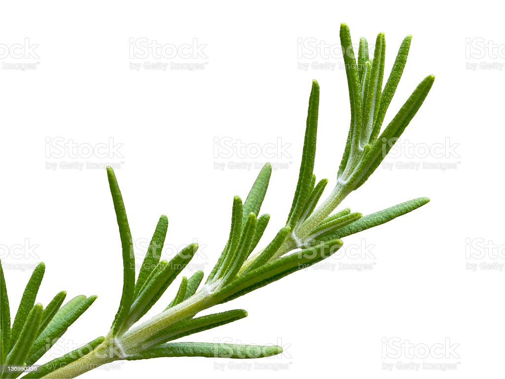 Rosemary herb plant royalty-free stock photo