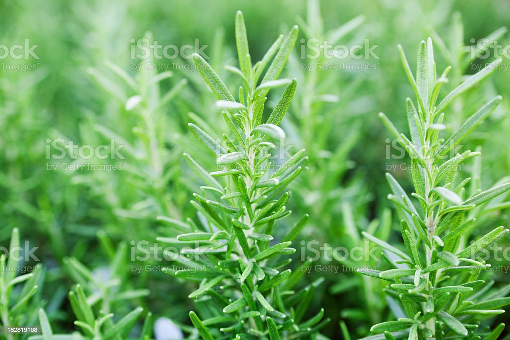 Rosemary Herb Plant Vegetable Garden, Fresh Green Leaf Sprigs Close-up stock photo